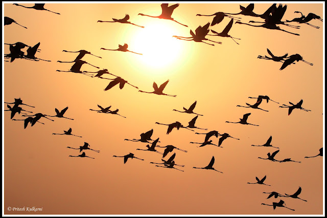 Greater Flamingo with Sunset at Diksal