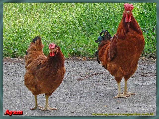 gambar ayam ras jantan dan betina