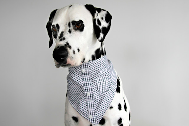 Dalmatian dog wearing a dress shirt bandana