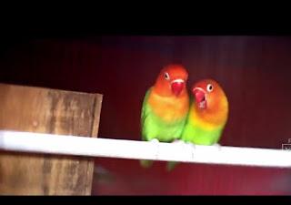 Proses kunci birahi lovebird