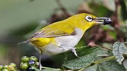 Kinh nghiệm và kỹ thuật nuôi chim vành khuyên