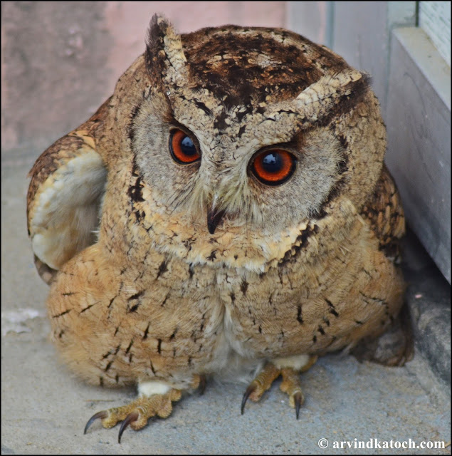 Owl, Indian, Indian scops owl,