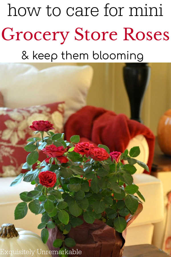 how to care for mini  Grocery Store Roses & Keep them blooming
