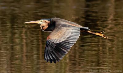 Purple Heron in Flight Diep River Woodbridge Island Vernon Chalmers Photography
