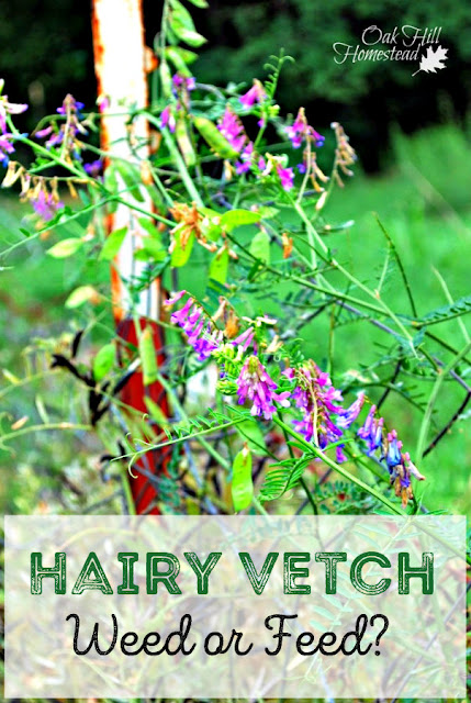 Hairy vetch, weed or feed? The advantages of allowing a weed to grow and prosper.