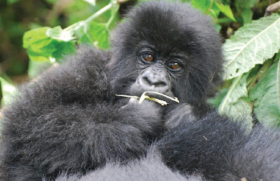 A Baby Mountain Gorilla