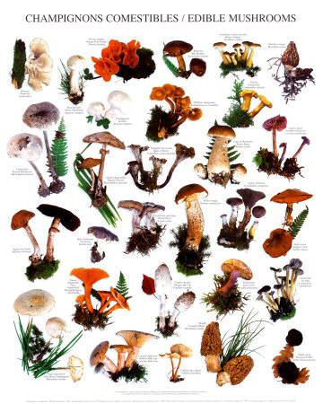 Edible mushrooms chart also rh mushroomsspot
