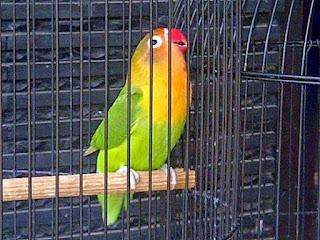 Terapi Burung Lovebird Anda Agar Tambah Durasi Ngegeknya Menjadi Panjang - Terapi yang Membuat Burung Lovebird Ngekek Panjang