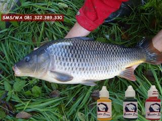 Oplosan Essen Ikan Mas