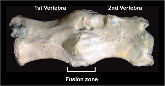 Permian lizard-like animal suffered from a bone condition similar to Paget's disease