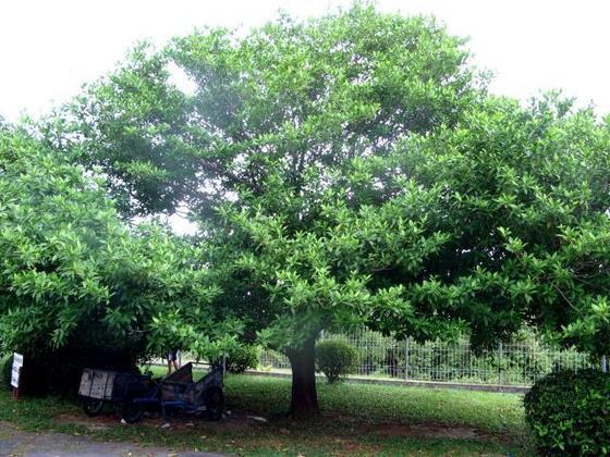Ciri Ciri Pohon Dewandaru