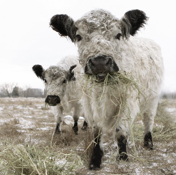 Beautiful furry white cows by Lucy Snowe