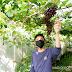 Budidaya Anggur di Kota Pekanbaru