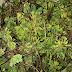 Jual Rumput Kebar Asli Papua Penyubur Kandungan (Kiloan)