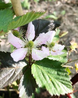 Black Satin karhunvatukassa on vaaleanpunaiset kukat