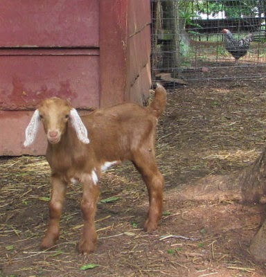 5 Acres & A Dream: Goat Decisions: Who Stays & Who Goes