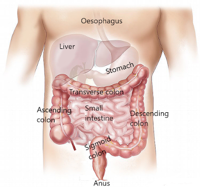 Abdominal organs, including the liver