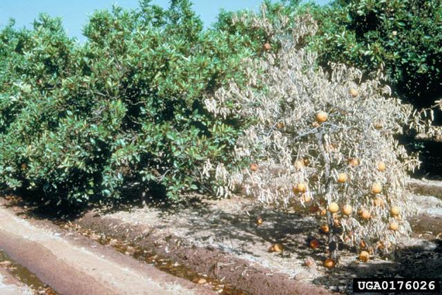 Στο τελικό στάδιο η διαδικασία πίστωσης των λογαριασμών των δικαιούχων που έχουν εκριζώσει τα δέντρα τους λόγω τριστέτσας