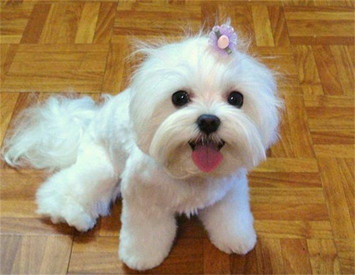 Animals Talk: Maltese Dogs Photos