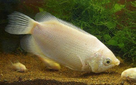 Budidaya Ikan Tambakan