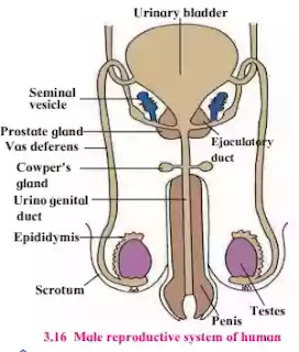 Human male reproductive system.