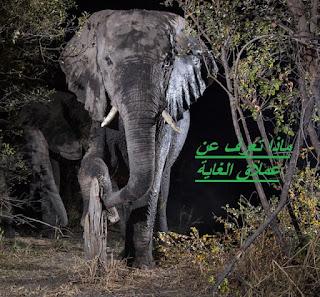 ماذا تعرف عن عملاق الغابة  الفيل