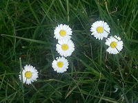 Daisies in grass, taken from above.