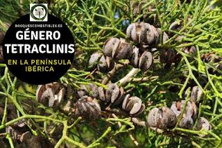 El género Tetraclinis son arboles de pequeña talla que alcanzan una altura de 5 a 15 m, con copa aovada