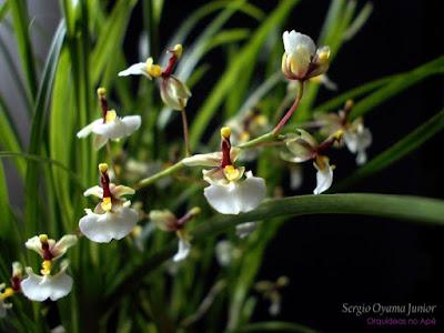 Orquídea Ornithophora radicans