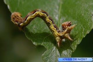 Erannis defoliaria - Hibernie défoliante