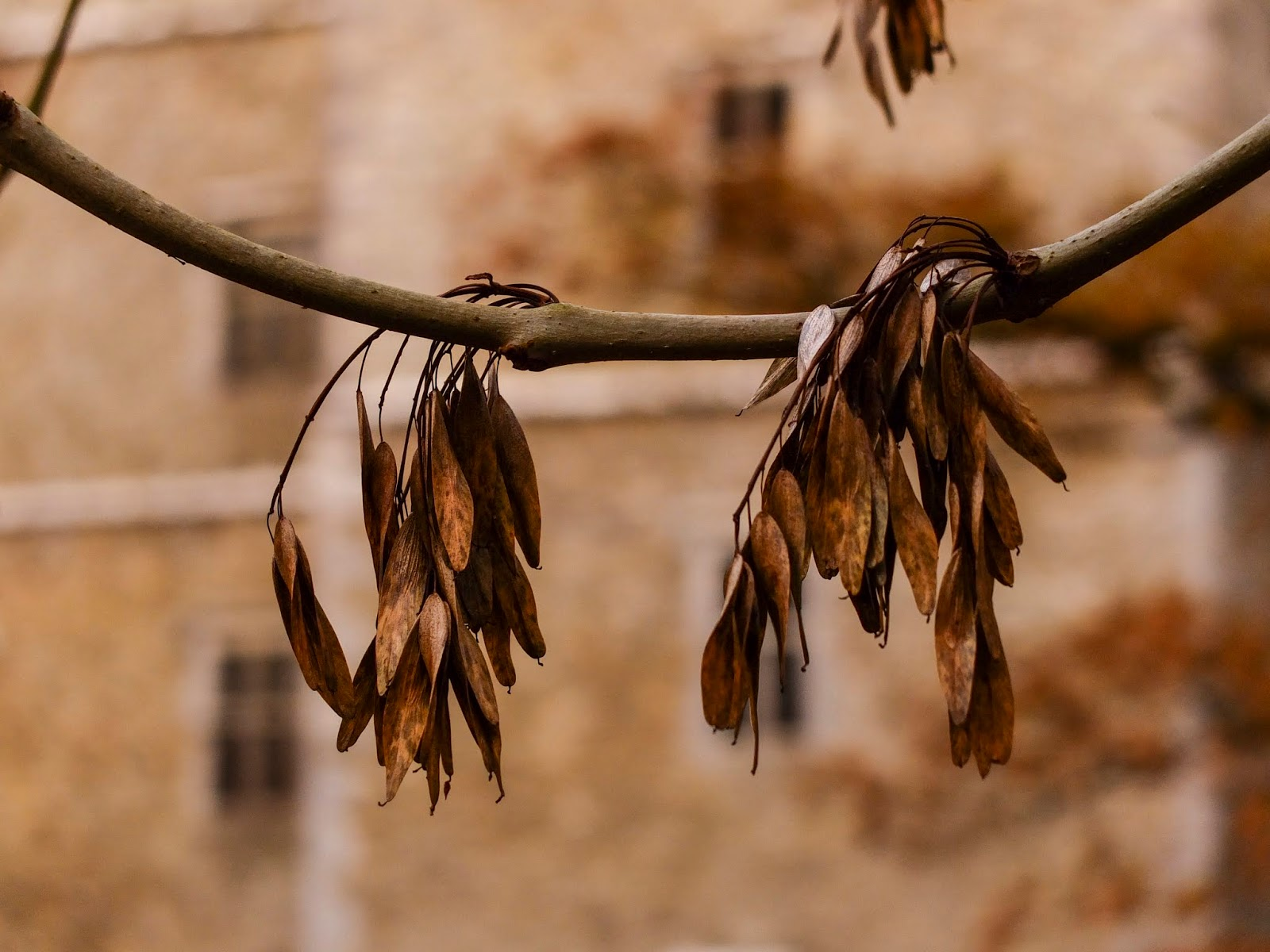 Close up of Ash tree seeds hanging on branches with Kanturk Castle in the background.