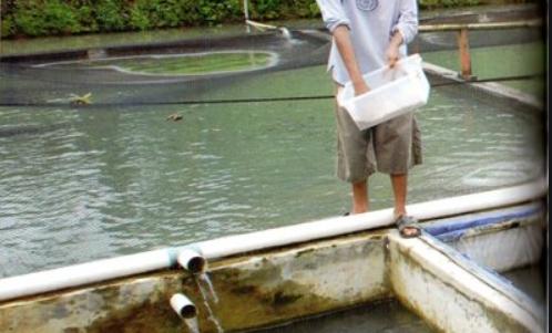 cara budidaya ikan toman
