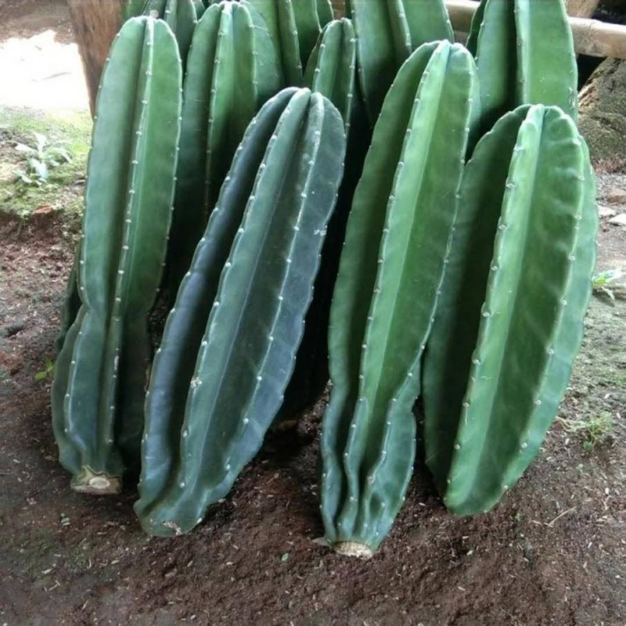 Tanaman Hias Kaktus Belimbing Kaktus Koboi Kaktus Koboy Sumatra Barat