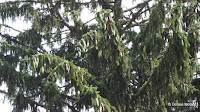Norway spruce cones in the tree - Boothe Memorial Park and Museum, Stratford, CT