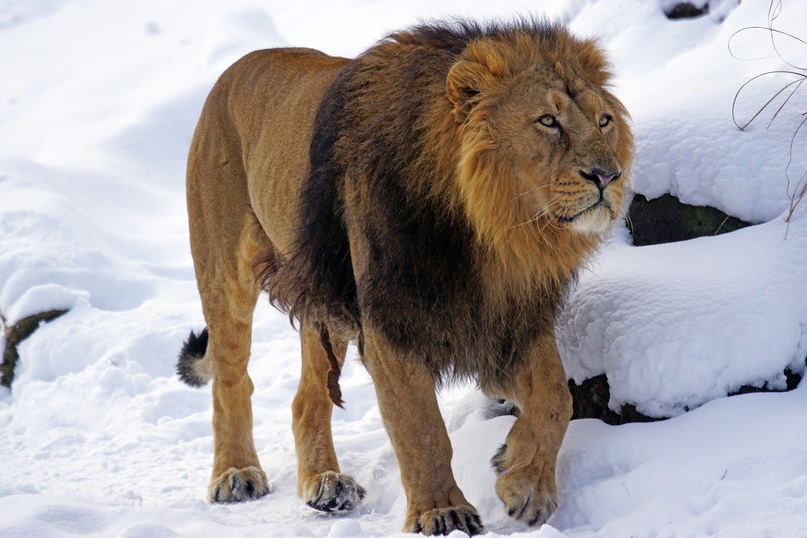 Mountain lion in the ice fearless images