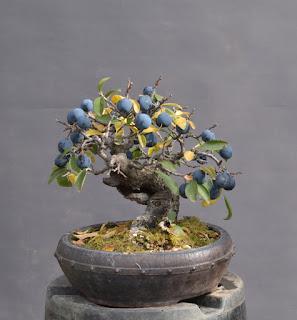 Prunus spinosa, yamadori, berries