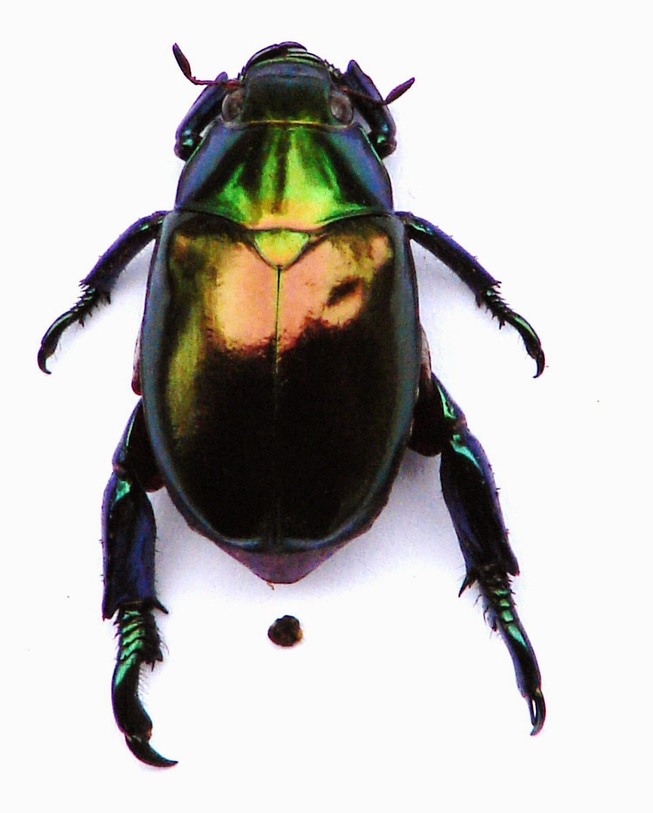 Metallic beetle