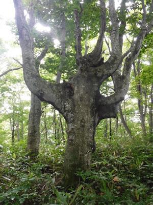 尾根上のブナの木