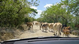Cows of Nicaragua