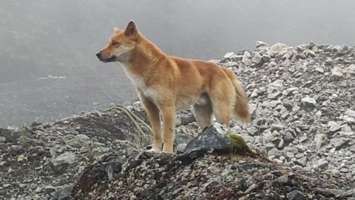 Spesies Anjing Langka Diduga Sudah Punah Puluhan Tahun Lalu Tiba-tiba Ditemukan di Indonesia