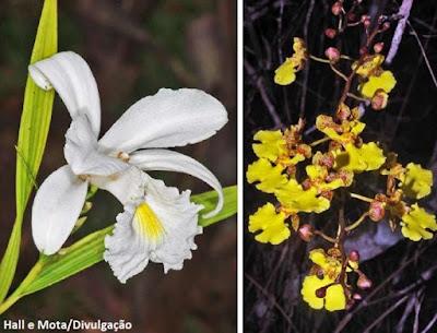 Orquídeas, flores de orquídeas,cangas, orquídeas das áreas de cangas da serra dos carajás, Parauapebas, Pará, floresta nacional de carajás, orchidae, Orchidaceae, flora, orquídeas e mineração