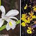 Estudo cataloga espécies de orquídeas das áreas de cangas na Serra dos Carajás/PA