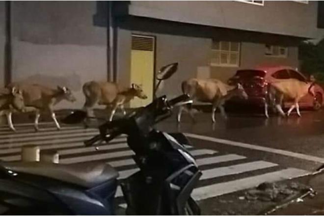 Tak Kunjung Ditertibkan, Hewan Ternak Bebas Berkeliaran Dalam Kota Watampone Bone