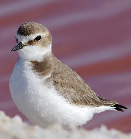 Indian birds - Image of Kentish plover - Charadrius alexandrinus