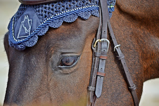 Close up of a bay horse wearing a Bridle and a navy blue fly veil