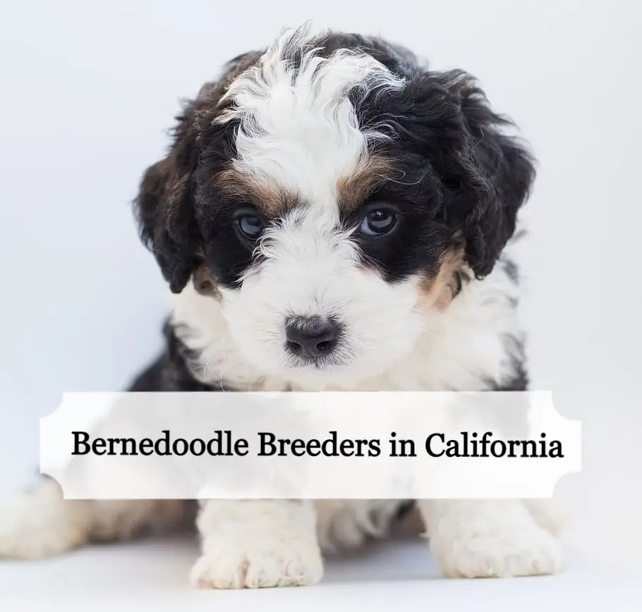 bernedoodle-breeders-in-california.webp
