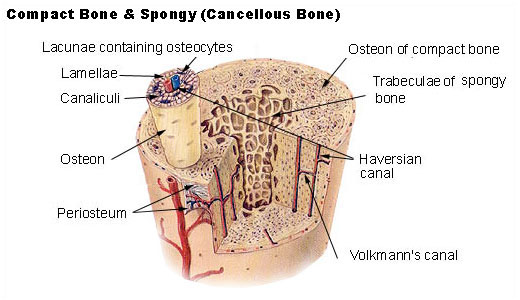 spatial relationship between compact and spongy bone