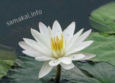 জাতীয় ফুল শাপলা
