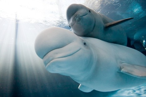 Baby Animals: Beluga - Calf 14