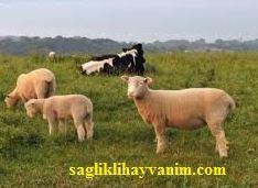 Sığır, Koyun ve Keçilerde Şişme Hastalığı